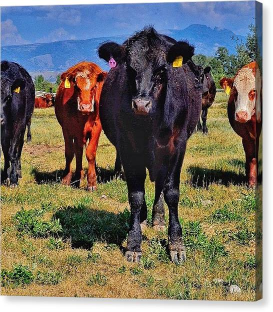 Tetons Canvas Print - Cattle Stare Down. Tetons. #all_photos by Chris Bechard