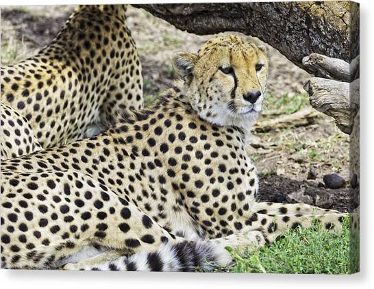 Canvas Print featuring the photograph Cheetahs Resting by Perla Copernik