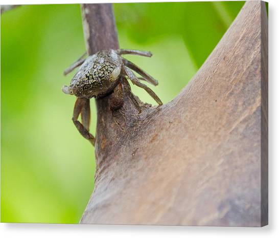 Climbing Crab Canvas Print by Mike Rivera