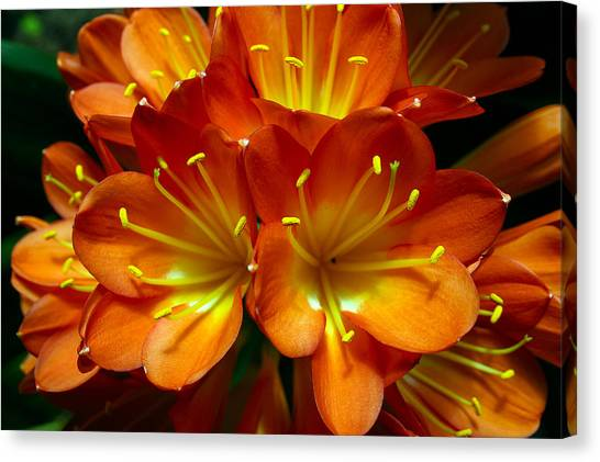 Clivia Bloom Canvas Print by PIXELS  XPOSED Ralph A Ledergerber Photography