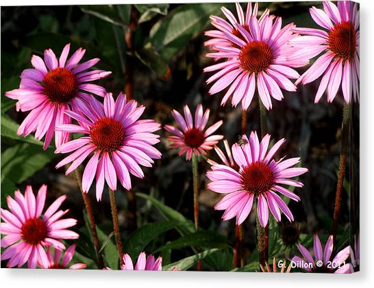 Coneflower Echinacea Purpurea Canvas Print