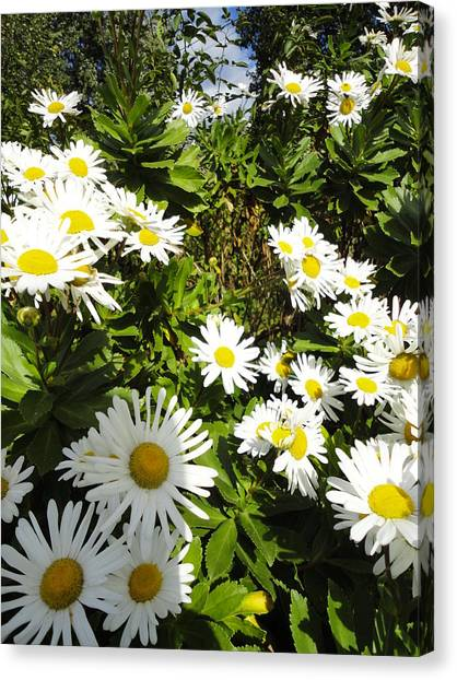 Crowd Of Daisies Canvas Print by Guy Ricketts