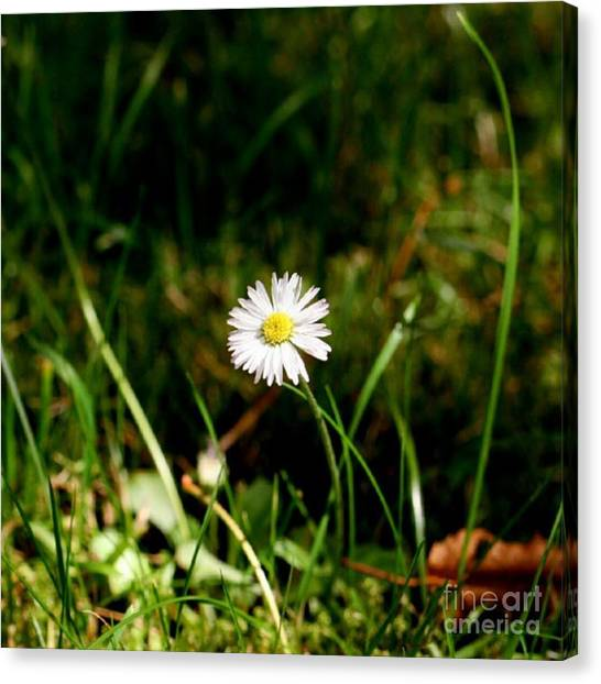 Social Canvas Print - Daisy Daisy by Abbie Shores