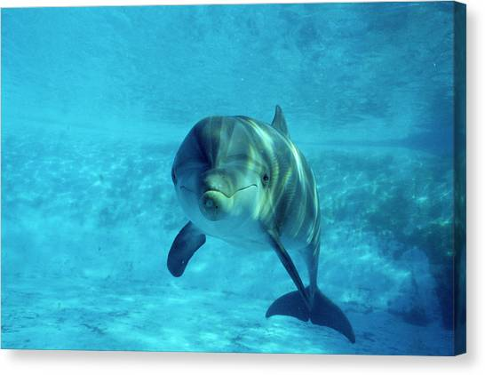 Dolphin In Captivity Canvas Print by Alexis Rosenfeld
