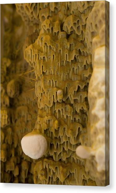 Dry Rot Fungus Canvas Print by Sinclair Stammers