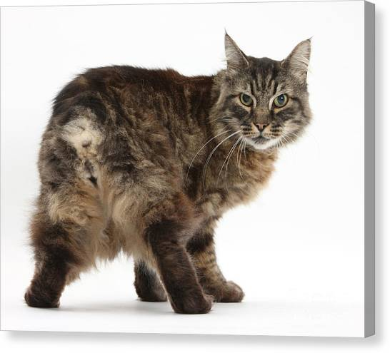 Manx Cats Canvas Print - Elderly Cat by Mark Taylor