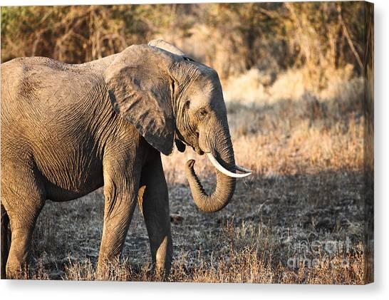 Elephant Portrait  Canvas Print