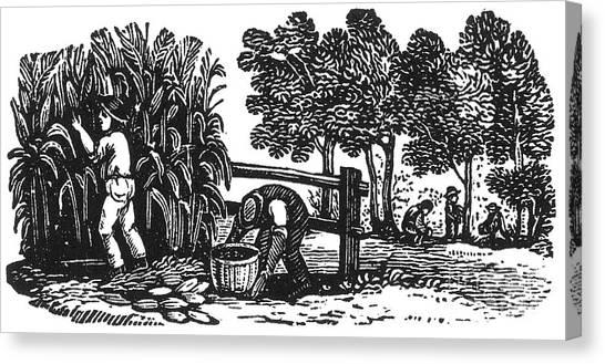Indian Corn Canvas Print - Farming: Harvest by Granger