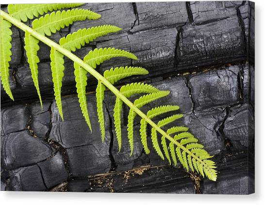 Fern On Burnt Log Canvas Print