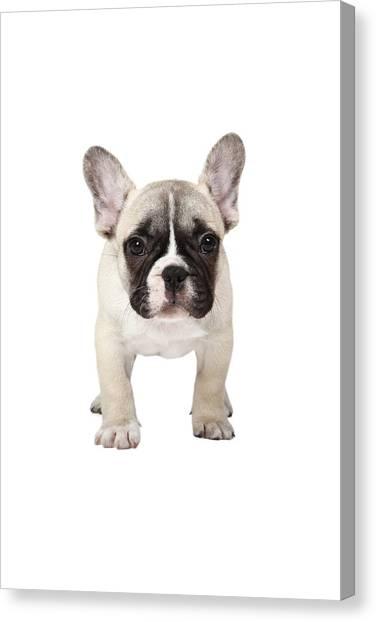 Front Shot Canvas Print - French Bulldog Puppy by Mlorenzphotography 3b234e41e592