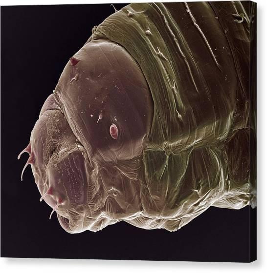Gnats Canvas Print - Gall Midge Larva by Steve Gschmeissner