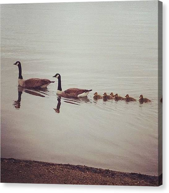 Geese Canvas Print - Geese At The Wakefield Lake by Danielle Mcneil