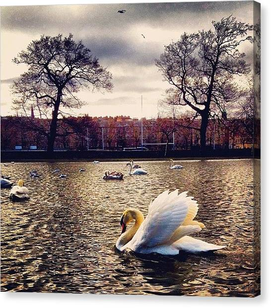 Swans Canvas Print - #gf_daily #master_pics #instagood by Sarah Drummond