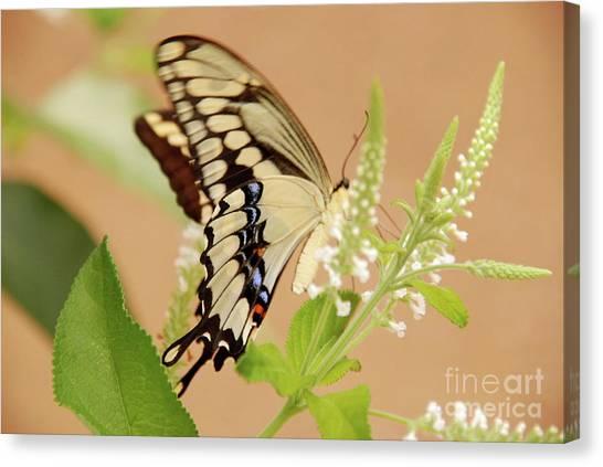 Giant Swallowtail Canvas Print