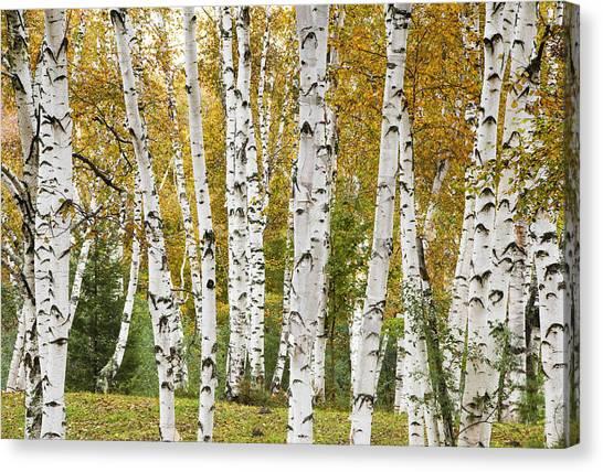 Golden Birches Canvas Print