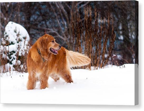 Golden Retriever In Snow Canvas Print by Matt Dobson