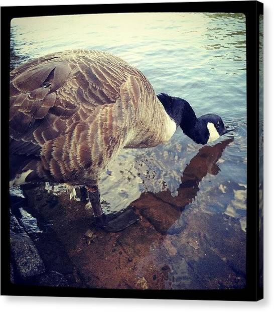 Geese Canvas Print - #goose #canada #canadian #wildlife by Jake Delmonte