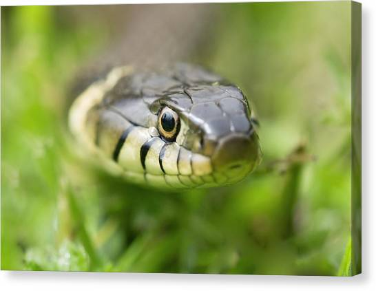 Grass Snake Canvas Print by Adrian Bicker