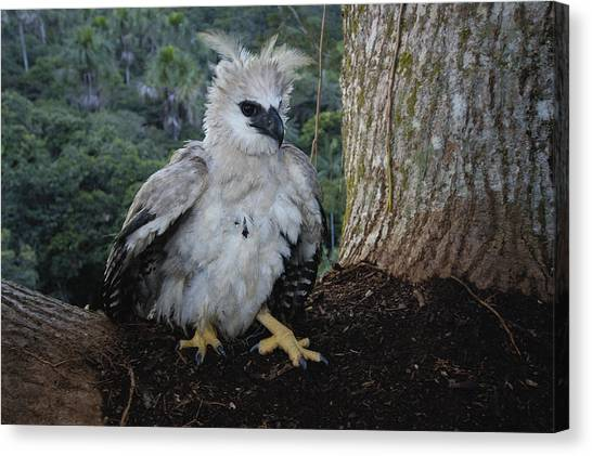 Harpy Eagle Canvas Print - Harpy Eagle Harpia Harpyja Recently by Pete Oxford