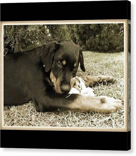Rottweilers Canvas Print - Hera by Adriana Guimaraes