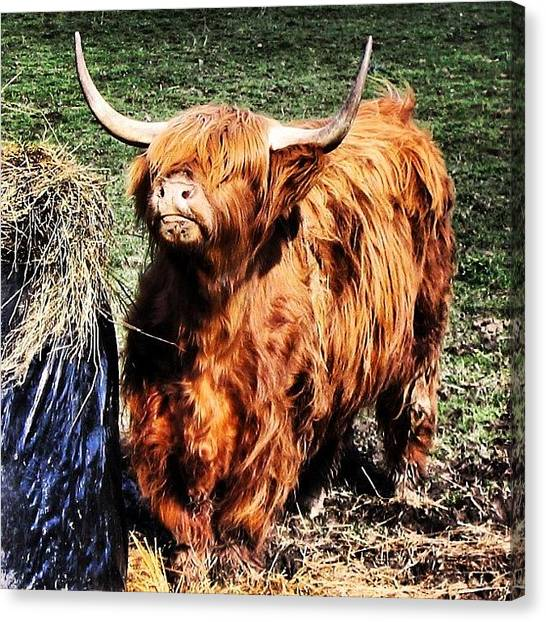 Cow Canvas Print - Highland's Cow by Luisa Azzolini