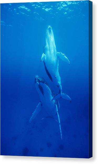 Humpback Whale Mother And Calf Canvas Print by Alexis Rosenfeld