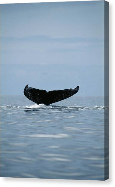 Humpback Whale Tail Canvas Print by Alexis Rosenfeld