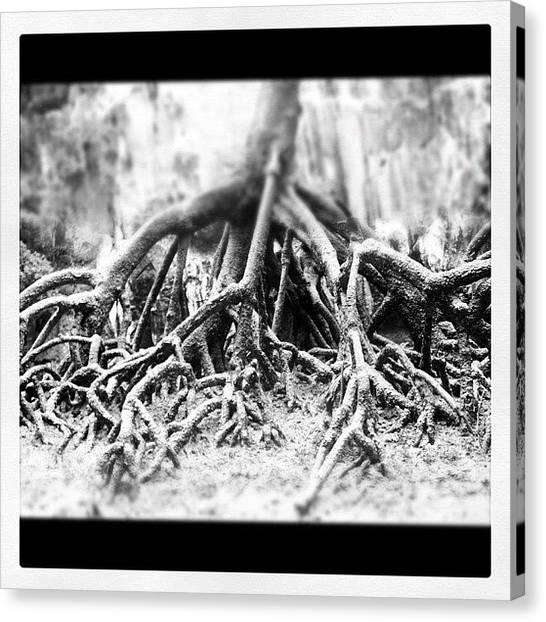 Mangrove Trees Canvas Print - Instagram Photo by Carl Sevitt