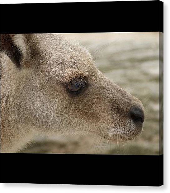 Kangaroo Canvas Print - Kangaroo At Singapore Zoo by Craig Finney