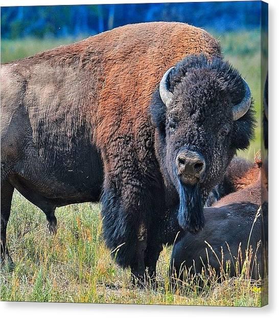 Wyoming Canvas Print - Katonka. Yellowstone. #all_photos #bull by Chris Bechard