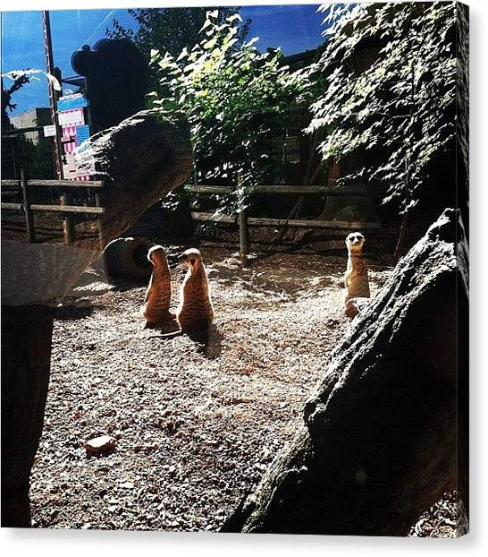 Meerkats Canvas Print - #knoxville #zoo  #iphone #fieldtrip by S Smithee