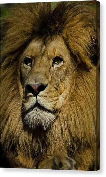Lion Portrait Canvas Print