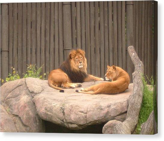 Lions - The Happy Couple Relaxing - Cleveland Metro Zoo 1 Canvas Print by S Taylor