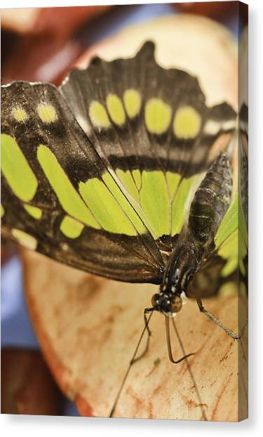 Canvas Print featuring the photograph Malachite Butterfly by Perla Copernik