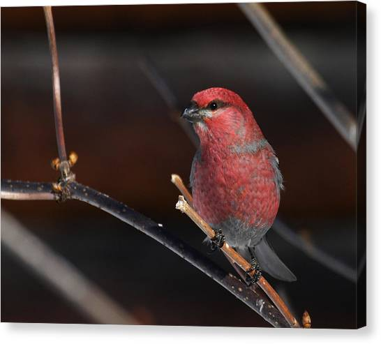 Male Pine Grosbeak Canvas Print