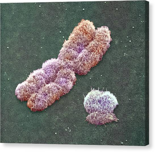 Male Sex Chromosomes, Sem Canvas Print by Power And Syred