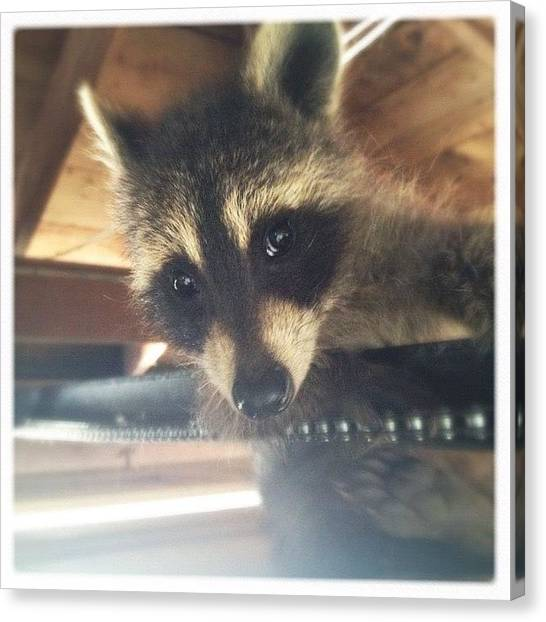 Raccoons Canvas Print - *1 Of The Orphaned Raccoons I Raised by Vanessa Ray