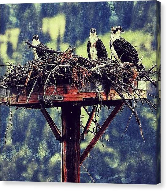 Osprey Canvas Print - Osprey Nest. Tetons. #all_photos #birds by Chris Bechard