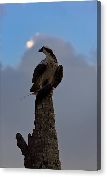 Osprey With Catch Canvas Print