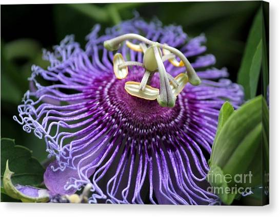 Passion Flower Canvas Print by Theresa Willingham