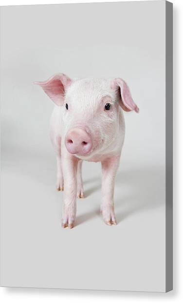 Livestock Canvas Print - Piglet, Studio Shot by Paul Hudson
