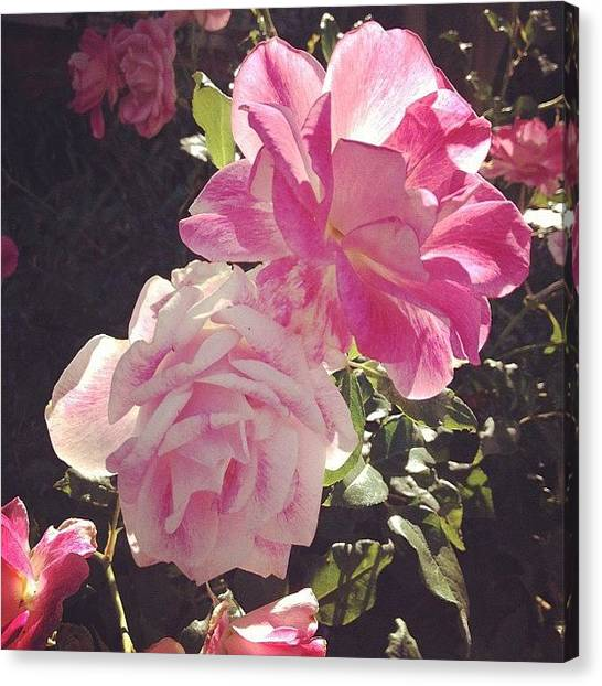 Santa Monica Canvas Print - Pink Roses Catching Sun by Lana Rushing