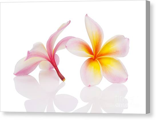 Plumeria Or Leelawadee Canvas Print
