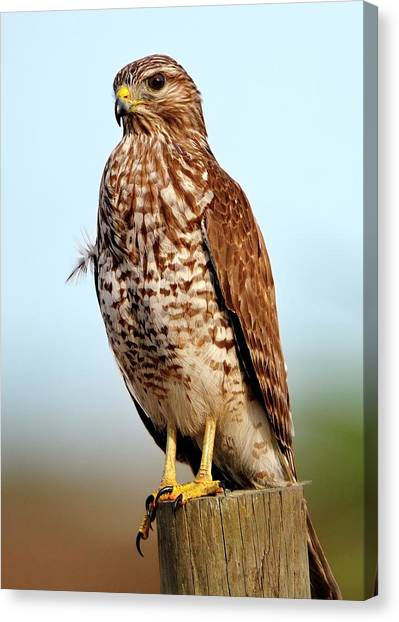 Portrait Of A Red Shouldered Hawk Canvas Print