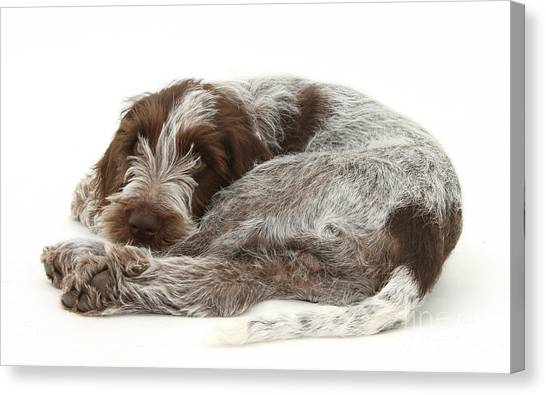 Spinone Canvas Print - Puppy by Mark Taylor