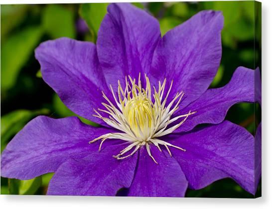 Purple Clematis Flower Canvas Print