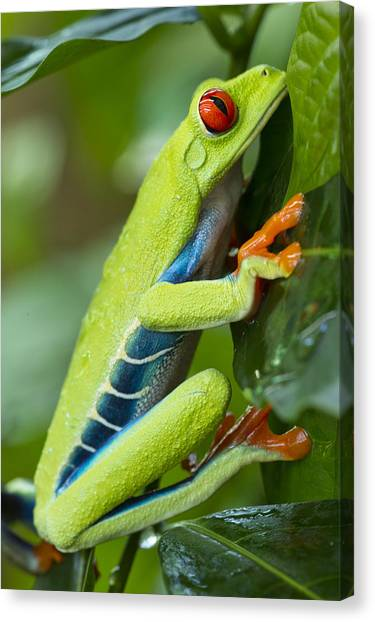 Monteverde Canvas Print - Red Eyed Tree Frog, Costa Rica by Paul Souders