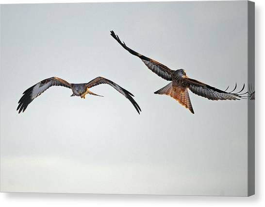 red Kites. Canvas Print by Andrew Chittock