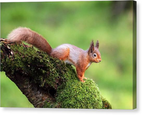 Bushy Tail Canvas Print - Red Squirrel by Grant Glendinning