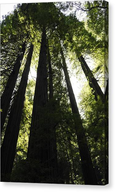 Red Woods Canvas Print